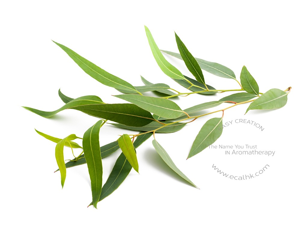 Eucalyptus Lemon Essential Oil 檸檬尤加利純精油