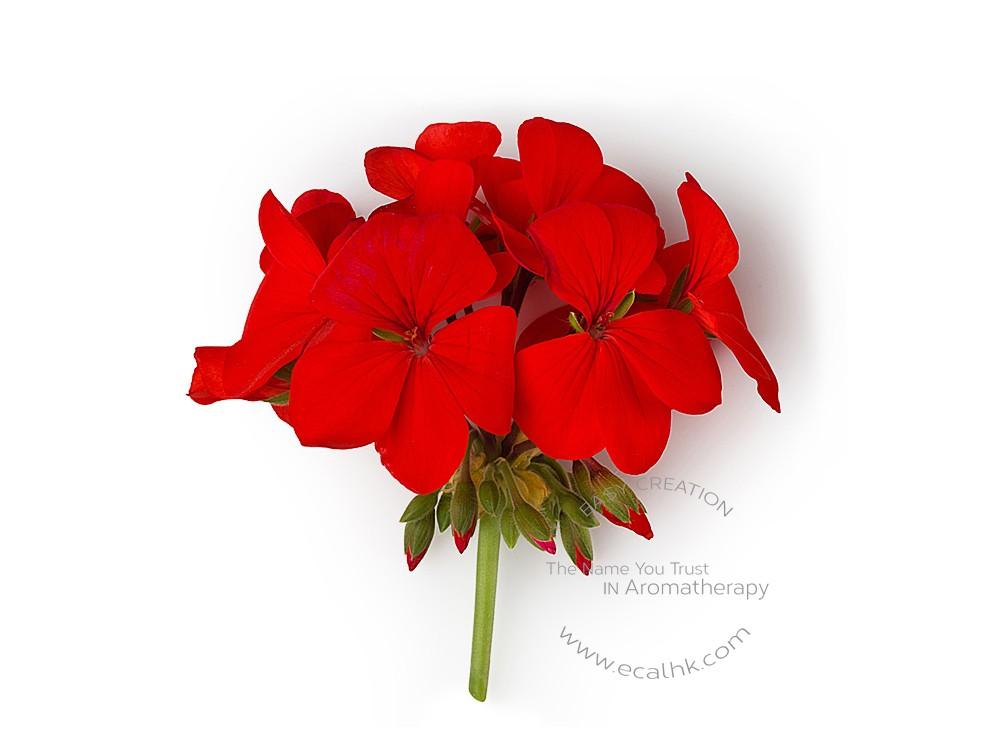 Rose Geranium Essential Oil 玫瑰天竺葵純精油