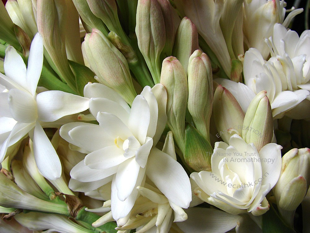 Tuberose Absolutes 夜來香原精