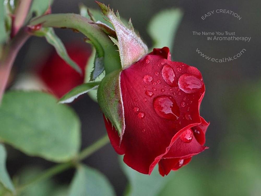 Rose Bulgarian Floral Water 保加利亞玫瑰花水
